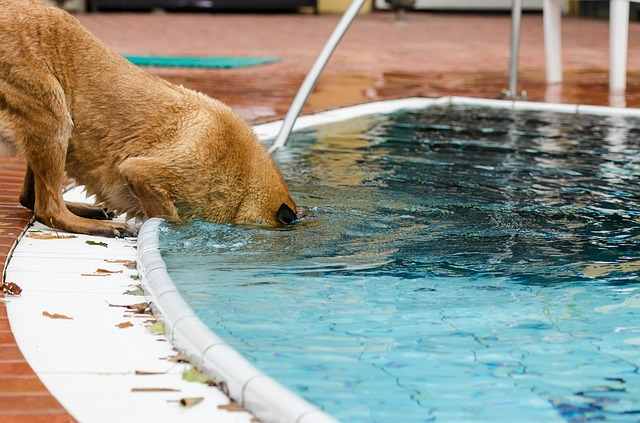 can dogs go in a pool saltwater or chlorine